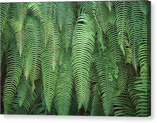 Kangchenjunga Canvas Print - Ferns Hanging Over Trail Nepal by Colin Monteath