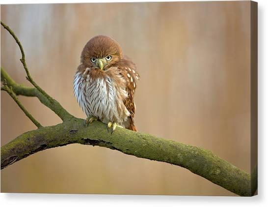Cute Bird Canvas Print - Ferruginous Pygmy Owl by Milan Zygmunt