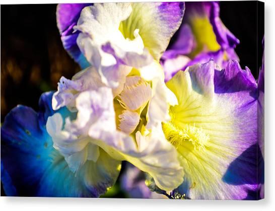 Fickle Iris  Canvas Print