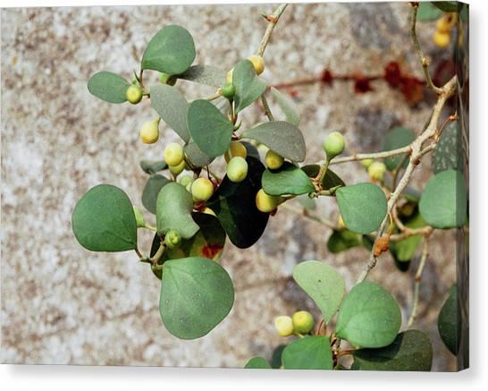 Mistletoe Canvas Print - Ficus Deltoidea Fruits by Science Photo Library