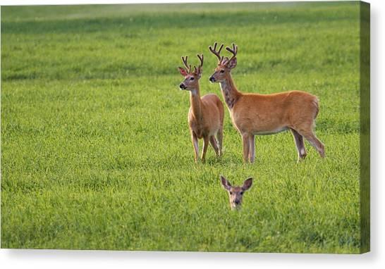 Monster Buck Canvas Print - Field Deer by Steve McKinzie
