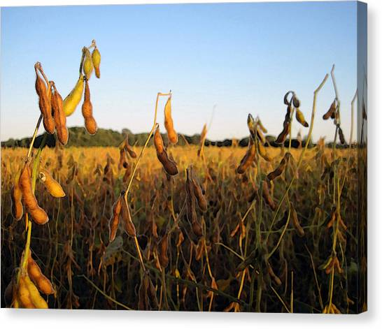 Field Of Beans Canvas Print by Christopher Purcell