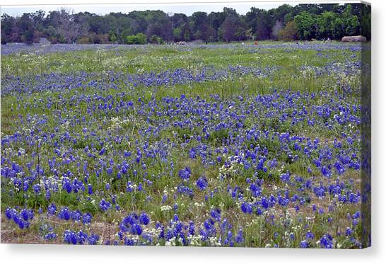 Field Of Bluebonnets Canvas Print by Judith Russell-Tooth
