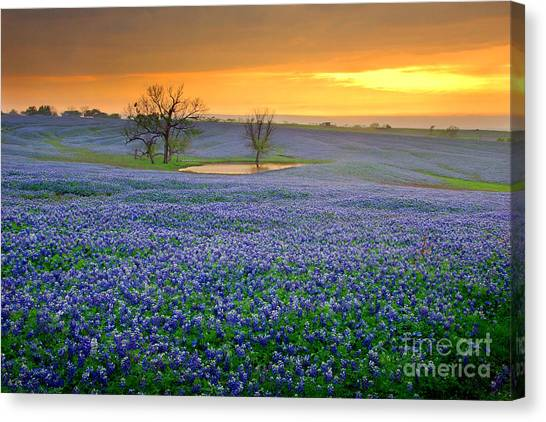 Pasture Canvas Print - Field Of Dreams Texas Sunset - Texas Bluebonnet Wildflowers Landscape Flowers  by Jon Holiday