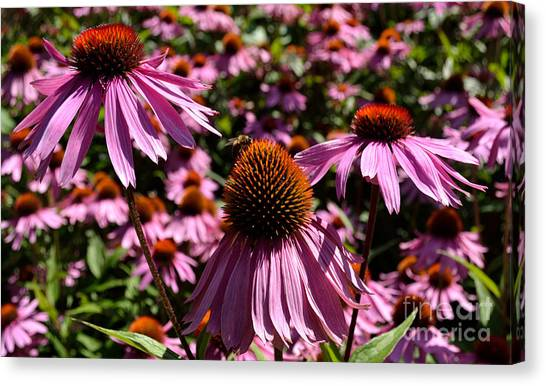 Canvas Print featuring the photograph Field Of Echinaceas by Scott Lyons
