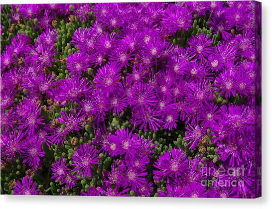 Field Of Flowers 2.1493 Canvas Print by Stephen Parker