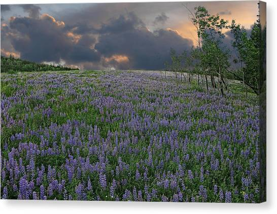 Field Of Lupine Canvas Print