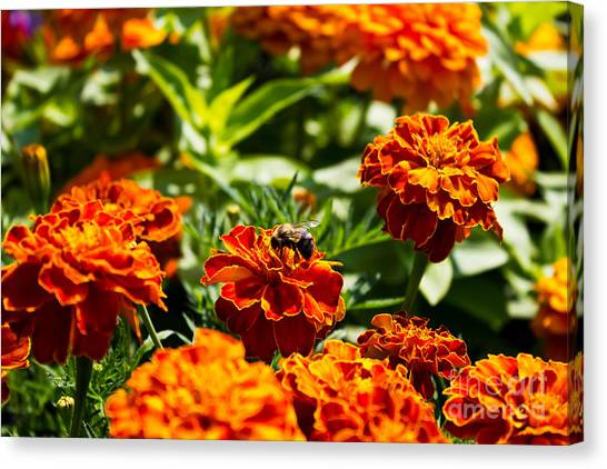 Field Of Marigolds Canvas Print
