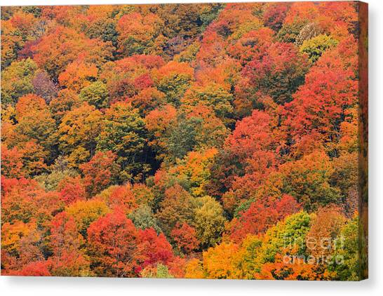 Field Of Trees From Above During Fall Foliage. Canvas Print