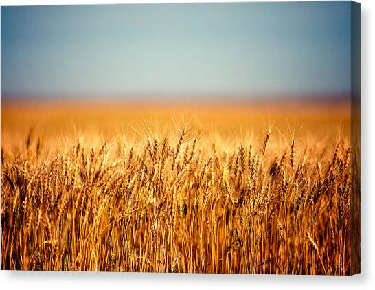 Genetics Canvas Print - Field Of Wheat by Todd Klassy