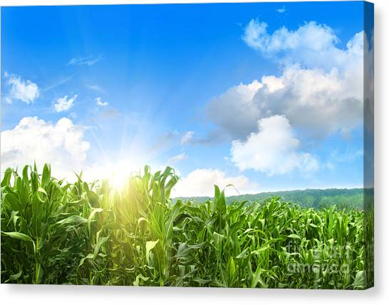 Field Of Young Corn Growing Against Blue Sky Canvas Print