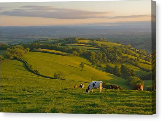 Fields And Cows In Devon Canvas Print
