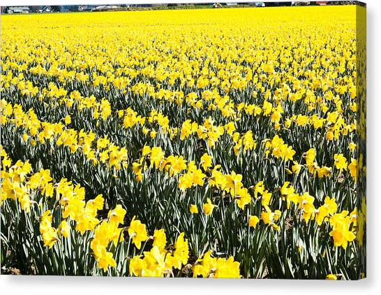 Fields Of Daffodils  Canvas Print