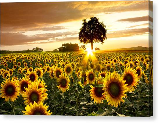 Barn Canvas Print - Fields Of Gold by Debra and Dave Vanderlaan