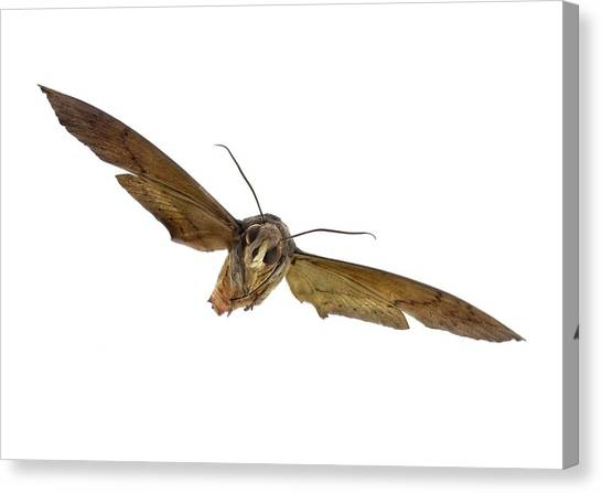 Pollinator Canvas Print - Fig Sphinx Moth by F. Martinez Clavel