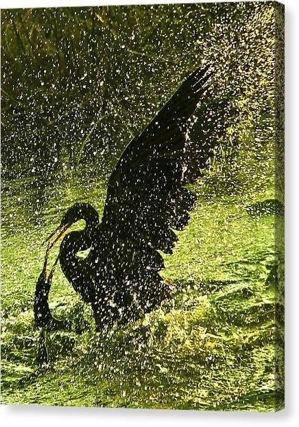 Fighting Anhingas Canvas Print