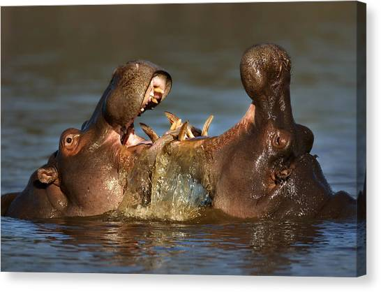 Fighting Canvas Print - Fighting Hippo's by Johan Swanepoel