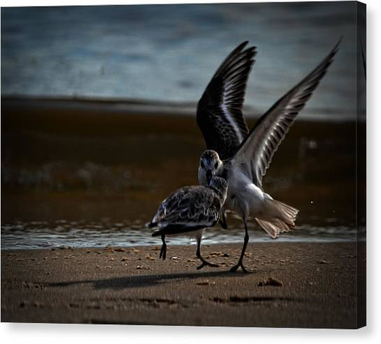 Fighting Sandpipers Canvas Print