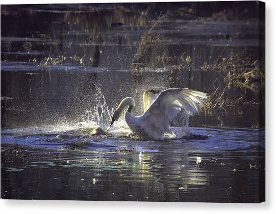 Fighting Swans Boxley Mill Pond Canvas Print