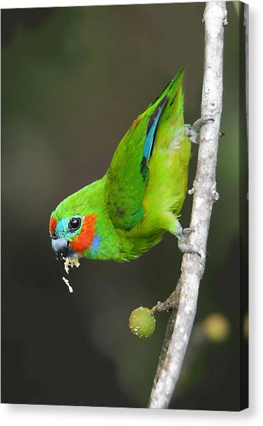Figparrot Eating Figs Canvas Print