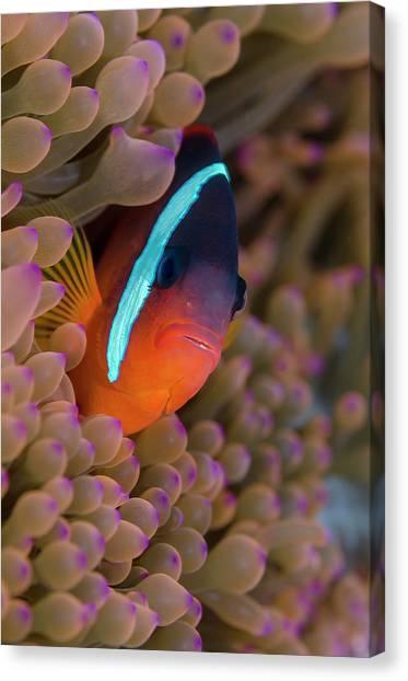 Anemonefish Canvas Print - Fiji Clownfish Hiding Among Sea Anemones by Jaynes Gallery
