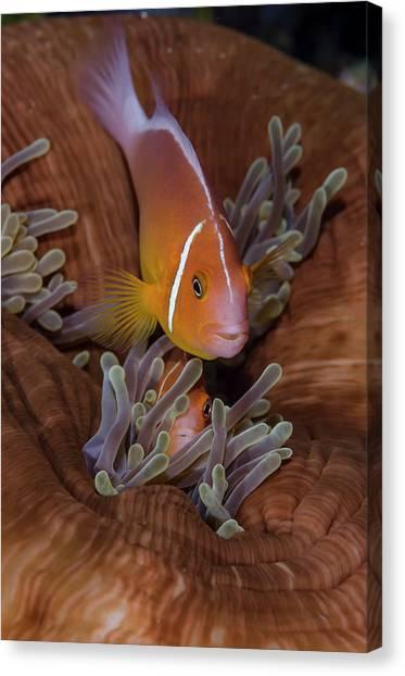 Anemonefish Canvas Print - Fiji Clownfish Hiding Among Sea by Jaynes Gallery