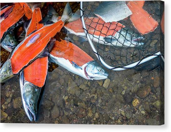 Fillet Canvas Print - Filleted Sockeye Salmon Carcasses by Rick Saez