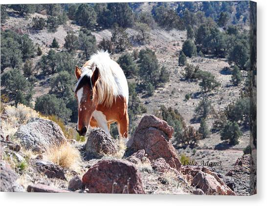 Filly Climbing  Canvas Print