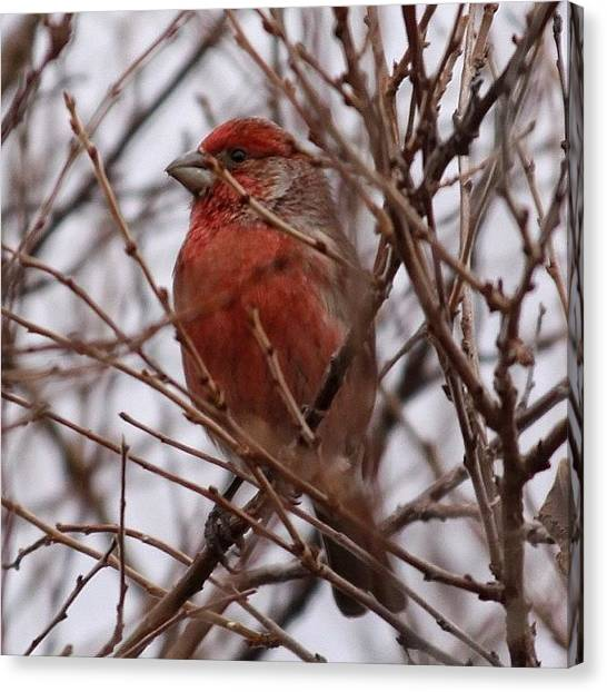 Finches Canvas Print - #finch #winter #laramie #bird #nature by Dan Fitzgerald