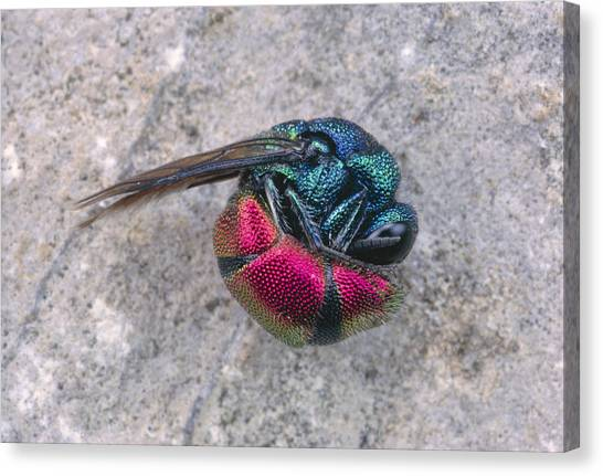 Dea Canvas Print - Fire Cuckoo Wasp Playing Dead by Perennou Nuridsany