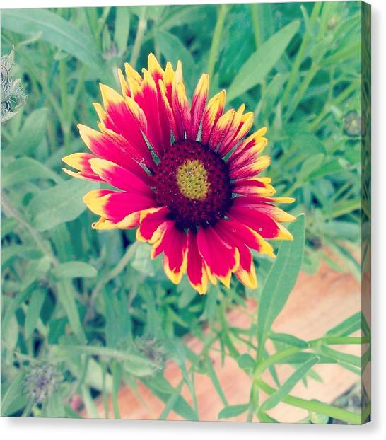 Fire Daisy Canvas Print