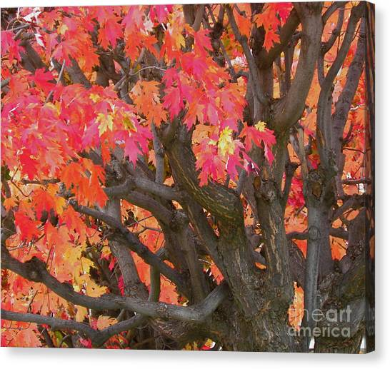 Fire Maple Canvas Print by Laura Yamada