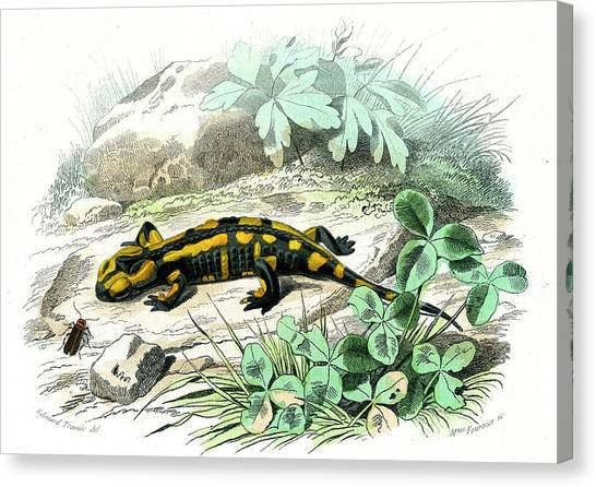 Salamanders Canvas Print - Fire Salamander by Collection Abecasis/science Photo Library