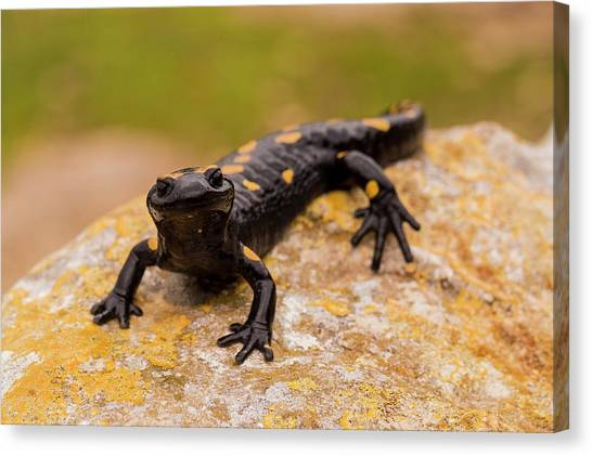 Salamanders Canvas Print - Fire Salamander Salamandra Salamandra by Photostock-israel/science Photo Library