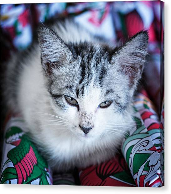 Firecracker Kitten Canvas Print by Zoe Ferrie