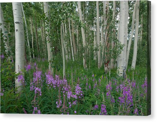 Fireweed And Aspen Canvas Print