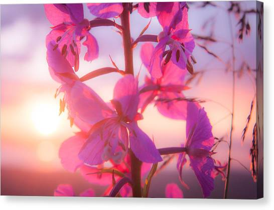 Fireweed At Sunset Canvas Print