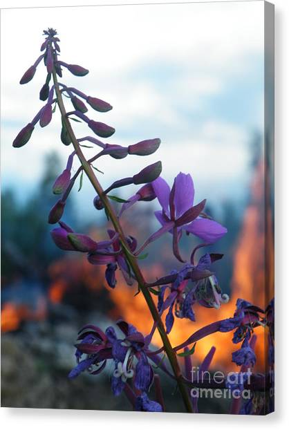 Fireweed Number Five Canvas Print