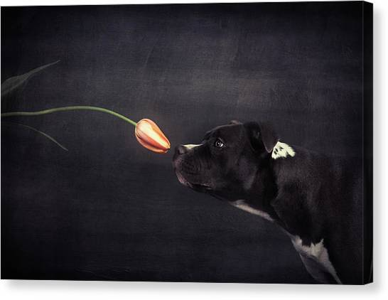 Pitbulls Canvas Print - First Approach - Hildegard And The Tulip by Heike Willers