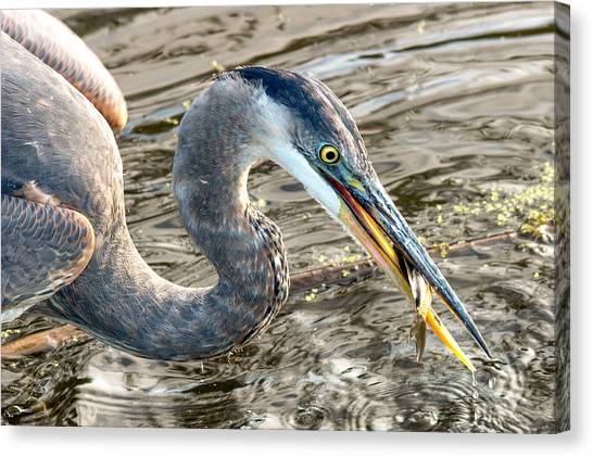 First Catch Of The Day - Blue Heron Canvas Print by Doug Underwood