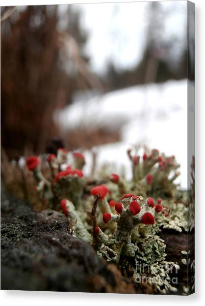 First Lichen Blossom Of The Year Canvas Print by Steven Valkenberg