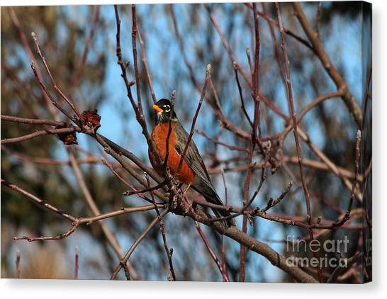 First Robin Of 2013 Canvas Print