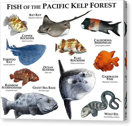 Kelp Forest Canvas Print - Fish Of The Pacific Kelp Forest by Roger Hall