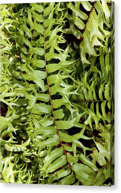 University Of Central Florida Ucf Canvas Print - Fishtail Fern (nephrolepis Biserrata) by Sally Mccrae Kuyper/science Photo Library