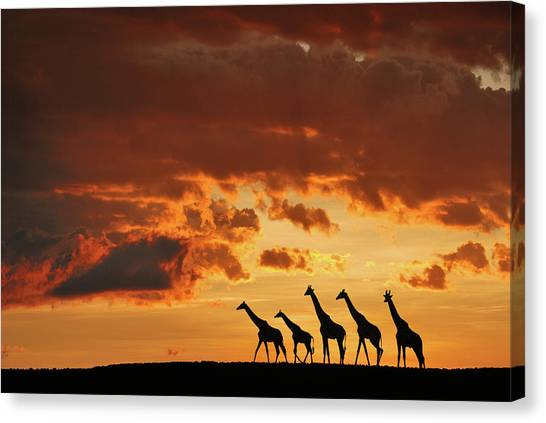 Neck Canvas Print - Five Giraffes by Muriel Vekemans