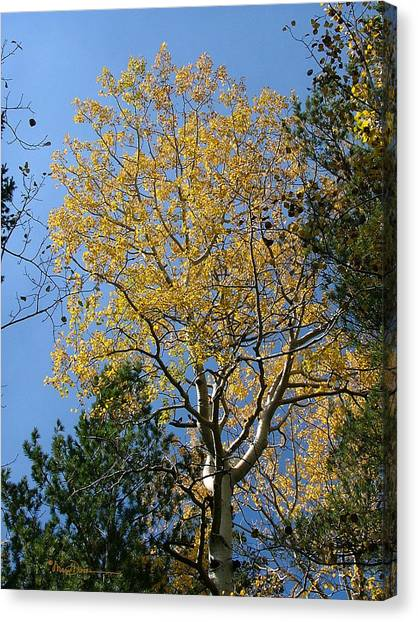 Flagstaff Aspens 784 Canvas Print