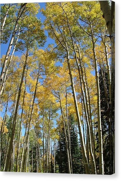 Flagstaff Aspens 794 Canvas Print