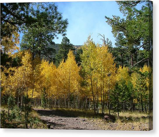 Flagstaff Aspens 804 Canvas Print