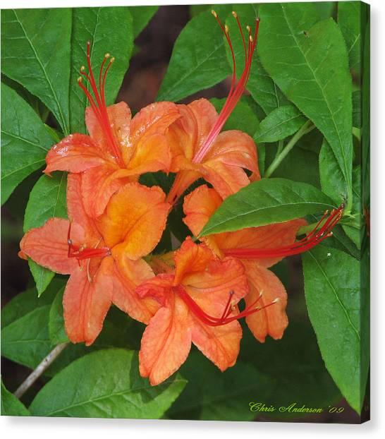 Flame Azalea Canvas Print