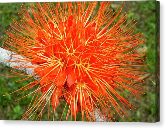 Belize Canvas Print - Flame Of Panama Flower (brownea by William Sutton
